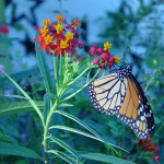 Moonarch butterfly on milkweed