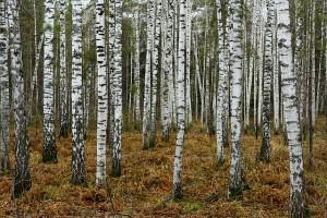 640px-Birches_near_Novosibirsk_in_Autumn