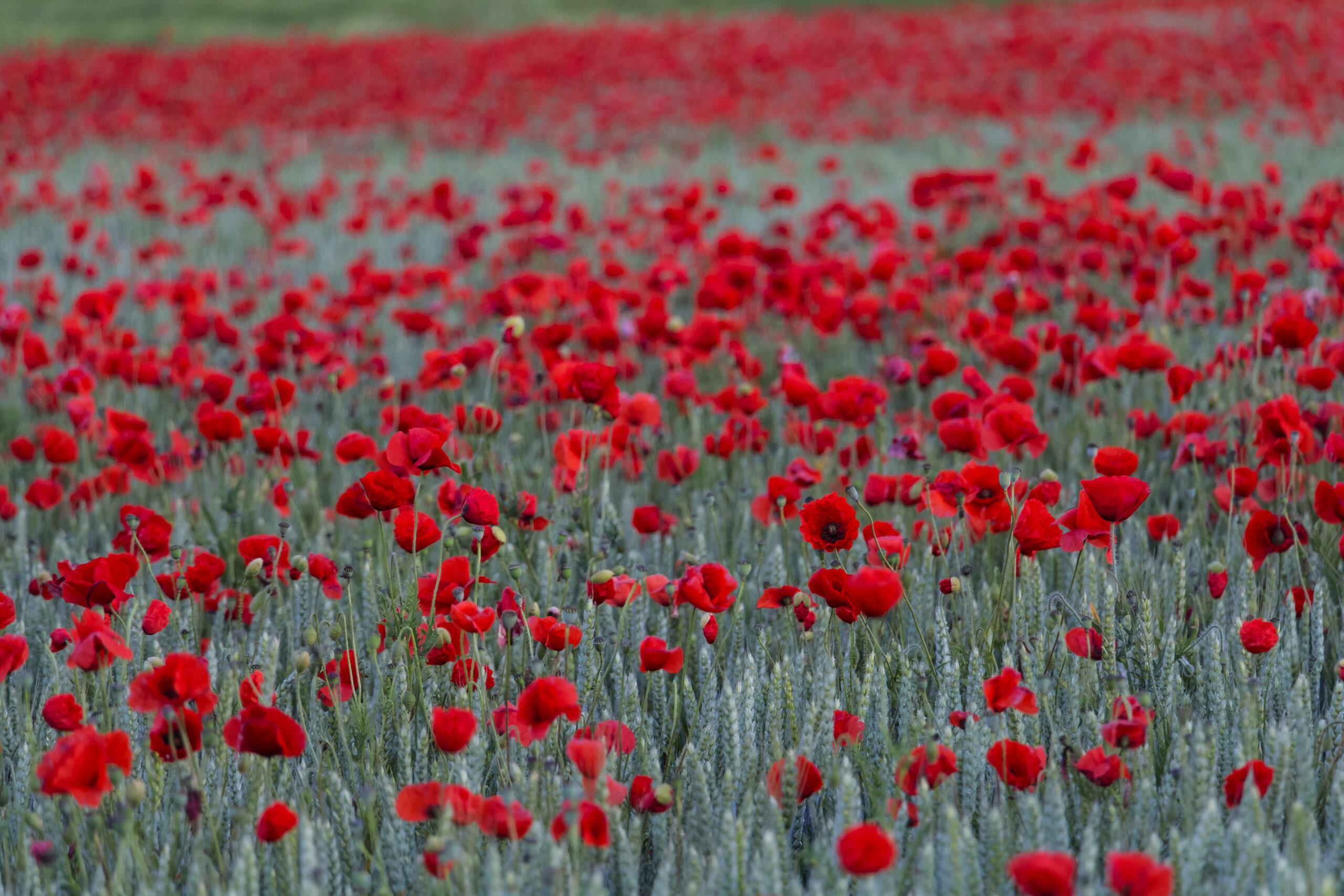 No Mere Discord of Flags: English Poets of WWI