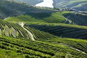 Vineyards in Portugal