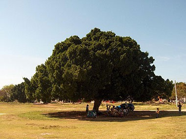 letter_big-tree-at-hacienda